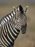 Common Zebra (Plains Zebra) (Burchell's Zebra) (Equus Burchelli) Photographic Print by James Hager