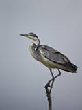 Gray Heron (Grey Heron) (Ardea Cinerea), Serengeti National Park, Tanzania, East Africa, Africa Photographic Print by James Hager