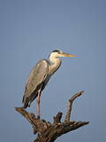 Gray Heron (Grey Heron) (Ardea Cinerea), Kruger National Park, South Africa, Africa Photographic Print by James Hager