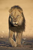 Lion (Panthera Leo) Photographic Print by James Hager