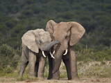 African Elephant (Loxodonta Africana) Bulls Sparring Photographic Print by James Hager