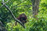 Orang-Utan (Pongo Pygmaeus) Photographic Print by Nico Tondini