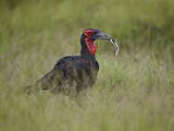 Southern Ground-Hornbill (Ground Hornbill) (Bucorvus Leadbeateri) Photographic Print by James Hager