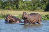 Hippopotamus (Hippopotamus Amphibius), Murchison Falls National Park, Uganda, East Africa, Africa Fotografisk tryk af Michael Runkel