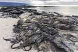 Adult Galapagos Marine Iguanas (Amblyrhynchus Cristatus) Basking Photographic Print by Michael Nolan
