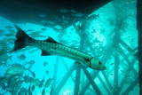 Great Barracuda (Sphyraena Barracuda) (Giant Barracuda) Can Grow Up to 1.8 Metres Long Photographic Print by Louise Murray