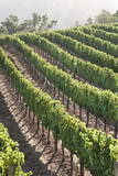 Rows of Lush Vineyards Photographic Print by Billy Hustace