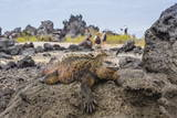 Galapagos Marine Iguana (Amblyrhynchus Cristatus) Basking in Urbina Bay Photographic Print by Michael Nolan