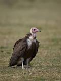 Hooded Vulture (Necrosyrtes Monachus), Serengeti National Park, Tanzania, East Africa, Africa Photographie par James Hager