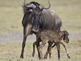 Just-Born Blue Wildebeest (Brindled Gnu) (Connochaetes Taurinus) Standing for the First Time Photographic Print by James Hager