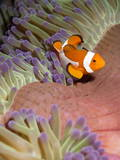 False Clown Anenomefish (Amphiprion Ocellaris) in the Tentacles of its Host Anenome Photographic Print by Louise Murray
