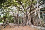 Large Twisted Roots of a Moreton Bay Fig Tree (Banyan Tree) (Ficus Macrophylla) Photographic Print by Matthew Williams-Ellis