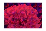 Carnation Giclee Print by Scott J. Davis