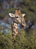 Cape Giraffe (Giraffa Camelopardalis Giraffa) Feeding Photographic Print by James Hager