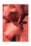 Orange Iris Giclee Print by Scott J. Davis