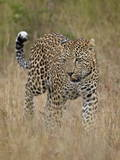 Leopard (Panthera Pardus) Walking Through Dry Grass Photographic Print by James Hager