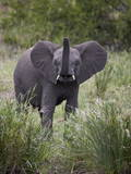 Young African Elephant (Loxodonta Africana), Kruger National Park, South Africa, Africa Photographic Print by James Hager
