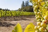 Close-Up of Grapes in a Vineyard, Napa Valley, California, United States of America, North America Photographic Print by Billy Hustace
