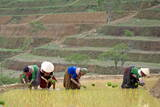 Flower Hmong Women Working in the Rice Field, Bac Ha Area, Vietnam, Indochina, Southeast Asia, Asia Photographic Print by Bruno Morandi