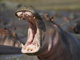 Hippopotamus (Hippopotamus Amphibius) Showing Aggression Photographic Print by James Hager