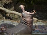 Hippopotamus (Hippopotamus Amphibius) Yawning Photographic Print by James Hager
