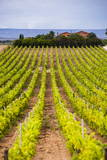 Vineyard at a Winery Near Noto, South East Sicily, Italy, Europe Photographic Print by Matthew Williams-Ellis