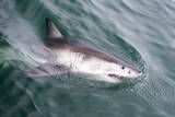 Great White Shark (Carcharodon Carcharias) at the Surface at Kleinbaai in the Western Cape Photographic Print by Louise Murray