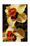 Daffodil Giclee Print by Scott J. Davis