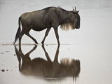 Blue Wildebeest (Brindled Gnu) (Connochaetes Taurinus) in the Water Photographic Print by James Hager