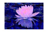 Pink Water Lily Giclee Print by Scott J. Davis