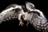 A Harpy Eagle, Harpia Harpyja, at the Los Angeles Zoo Photographic Print by Joel Sartore