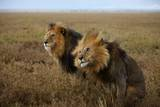 Adult Male Lions, C-Boy and Hildur, Sit Side by Side During an Afternoon Rain Shower Photographic Print by Michael Nichols