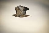 A Red-Tailed Hawk, Buteo Jamaicensis, in Flight over Boulder, Colorado Photographic Print by Keith Ladzinski