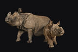 An Endangered Indian Rhinoceros Female with Calf at the Fort Worth Zoo Photographic Print by Joel Sartore