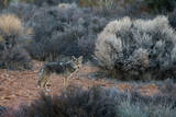 A Coyote in Joshua Tree National Park Photographic Print by Ben Horton