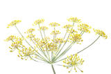 Golden Fennel Flowers Photographic Print by Robert Llewellyn