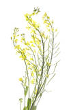Mustard Flowers Photographic Print by Robert Llewellyn