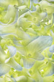 A Hydrangea Flower Photographic Print by Robert Llewellyn