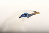 A Critically Endangered Bali Starling or Bali Mynah, Leucopsar Rothschildi Photographic Print by Joel Sartore