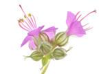 Hardy Geranium Flowers Photographic Print by Robert Llewellyn