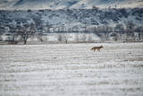 A Coyote, Canis Latrans, Near Boulder Photographic Print by Keith Ladzinski