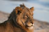 Close Up Portrait of a Lion, Panthera Leo, Resting on a River Bank Fotografie-Druck von Sergio Pitamitz