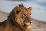 Close Up Portrait of a Lion, Panthera Leo, Resting on a River Bank Stampa fotografica di Sergio Pitamitz