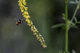 A Bee with Pollen Covered Legs Approaches a Flower Near East Lake Creek Trail Photographic Print by Ben Horton