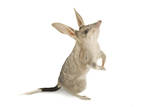 A Bilby, Macrotis Lagotis Photographic Print by Joel Sartore