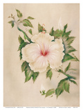Hawaiian White Hibiscus (Pua Aloalo) Prints by Tip Freeman