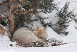 A Sleepy Coyote Curled in a Ball under a Tree, Peeks at the Camera Photographic Print by Tom Murphy