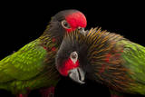 A Pair of Yellow-Streaked Lories, Chalcopsitta Sintillata, at the Omaha Henry Doorly Zoo Photographic Print by Joel Sartore