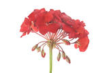 A Geranium Flower with Buds Photographic Print by Robert Llewellyn