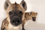 Spotted Hyenas, Crocuta Crocuta, at the Sunset Zoo in Manhattan, Kansas Photographic Print by Joel Sartore